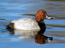 Pochard photographed at Reservoir on 20/12/2009. Photo: © Phil Alexander