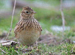 Skylark photographed at Pleinmont [PLE] on 8/1/2010. Photo: © Chris Bale
