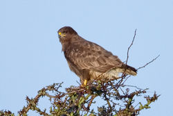 Buzzard photographed at Les Paysans on 17/1/2010. Photo: © Paul Hillion