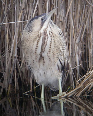 Bittern photographed at Grands Marais/Pr� [PRE] on 24/1/2010. Photo: © Mark Guppy