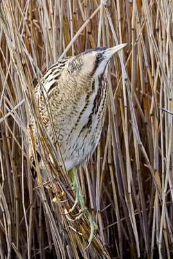 Bittern photographed at Grand Pr� on 24/1/2009. Photo: © Paul Hillion