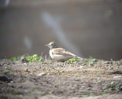 Short-toed Lark photographed at Fort Hommet [HOM] on 13/5/2010. Photo: © Mark Guppy