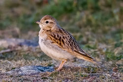 Short-toed Lark photographed at Fort Hommet [HOM] on 13/5/2010. Photo: © Paul Hillion