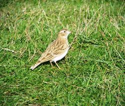 Short-toed Lark photographed at Fort Hommet [HOM] on 6/10/2010. Photo: © Mark Guppy