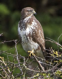 Buzzard photographed at Rue des Bergers [BER] on 19/10/2010. Photo: © Mike Cunningham