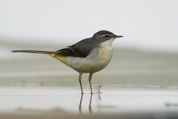 Grey Wagtail photographed at Track Marais [TRA] on 2/11/2010. Photo: © Paul Bretel