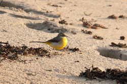 Grey Wagtail photographed at Pulias [PUL] on 7/11/2010. Photo: © Rod Ferbrache
