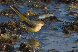 Grey Wagtail photographed at Vazon [VAZ] on 13/12/2010. Photo: © Chris Bale