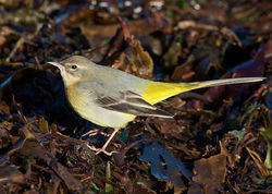 Grey Wagtail photographed at Shingle Bank [SHI] on 9/1/2011. Photo: © Barry Wells