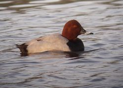 Pochard photographed at Grande Mare [GMA] on 20/2/2011. Photo: © Mark Guppy