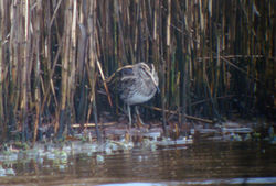 Jack Snipe photographed at Claire Mare [CLA] on 18/3/2011. Photo: © Judy Down