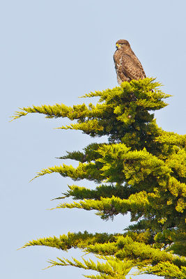 Buzzard photographed at Les Grantez, CAT [LGZ] on 26/4/2011. Photo: © steve levrier