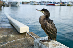 Shag photographed at Albert Marina on 26/8/2011. Photo: © Paul Hillion