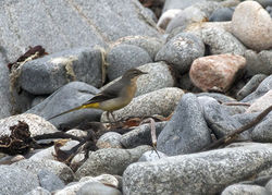 Grey Wagtail photographed at Pulias [PUL] on 16/10/2011. Photo: © Cindy  Carre