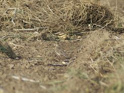 Skylark photographed at Pleinmont [PLE] on 25/10/2011. Photo: © Royston Carr�