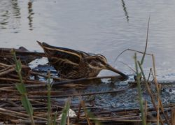 Jack Snipe photographed at Claire Mare [CLA] on 25/10/2011. Photo: © Mark Guppy