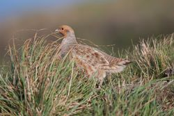 Grey Partridge photographed at Pleinmont [PLE] on 29/10/2011. Photo: © Allan Phillips