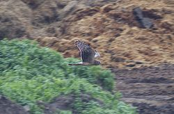 Hen Harrier photographed at Pleinmont [PLE] on 8/11/2011. Photo: © Royston Carr�