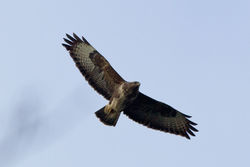 Buzzard photographed at Silbe [SIL] on 11/2/2012. Photo: © Rod Ferbrache