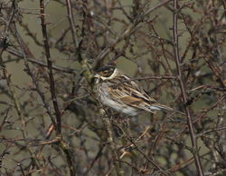 Reed Bunting photographed at Candie, STA [CA2] on 21/2/2012. Photo: © Paul Bretel