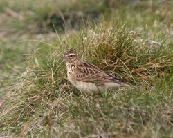 Skylark photographed at Fort Le Marchant [MAR] on 12/3/2012. Photo: © Cindy  Carre