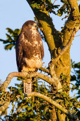 Buzzard photographed at Reservoir [RES] on 23/7/2012. Photo: © steve levrier