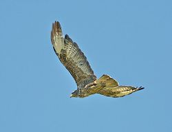 Buzzard photographed at Rue de Mont Varouf, SSV on 9/8/2012. Photo: © Royston Carr�