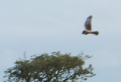 Hen Harrier photographed at Rue des Hougues, STA [H04] on 21/8/2012. Photo: © Wayne Turner