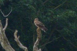 Hen Harrier photographed at Rue des Hougues, STA [H04] on 21/8/2012. Photo: © Mark Guppy