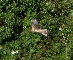 Hen Harrier photographed at Rue des Hougues, STA [H04] on 22/8/2012. Photo: © Mark Guppy