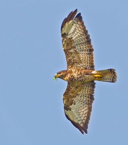 Buzzard photographed at select location on 1/9/2012. Photo: © Anthony Loaring
