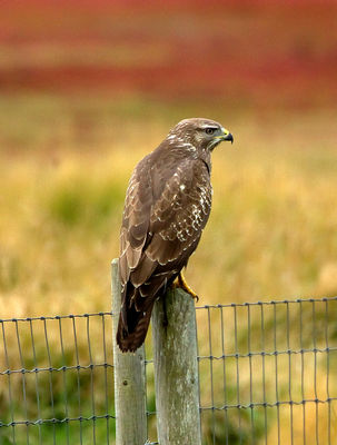Buzzard photographed at Colin Best NR [CNR] on 3/9/2012. Photo: © Mike Cunningham
