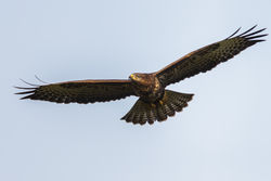 Buzzard photographed at Reservoir [RES] on 27/7/2012. Photo: © steve levrier