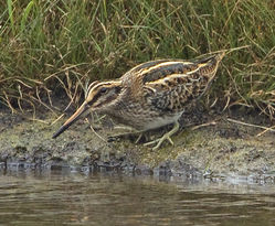Jack Snipe photographed at Claire Mare [CLA] on 24/9/2012. Photo: © Mike Cunningham