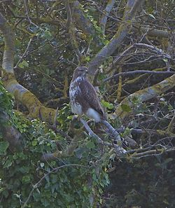 Buzzard photographed at Colin Best NR [CNR] on 12/10/2012. Photo: © Royston Carr�