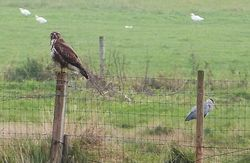 Buzzard photographed at Colin Best NR [CNR] on 23/10/2012. Photo: © Tracey Henry