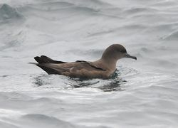 Sooty Shearwater photographed at Pelagic [PEL] on 16/9/2012. Photo: © Karen Jehan