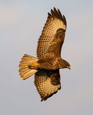 Buzzard photographed at Pleinmont [PLE] on 16/11/2012. Photo: © Anthony Loaring