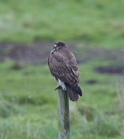 Buzzard photographed at Colin Best NR [CNR] on 22/1/2013. Photo: © Royston Carr�