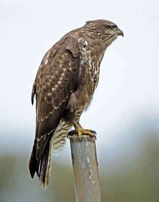 Buzzard photographed at Pleinmont [PLE] on 24/1/2013. Photo: © Mike Cunningham