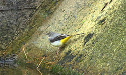 Grey Wagtail photographed at Reservoir [RES] on 4/2/2013. Photo: © David Du jardin