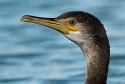Shag photographed at St Peter Port [SPP] on 15/2/2013. Photo: © Simon Murfitt