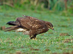 Buzzard photographed at Creux Mahie, TOR on 16/2/2013. Photo: © Mike Cunningham