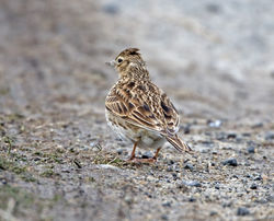 Skylark photographed at Fort Le Crocq [FLC] on 13/3/2013. Photo: © Mike Cunningham