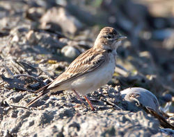 Short-toed Lark photographed at Rue des Bergers [BER] on 20/4/2013. Photo: © Mike Cunningham