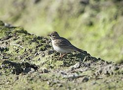 Short-toed Lark photographed at Rue des Bergers [BER] on 20/4/2013. Photo: © Royston Carr�