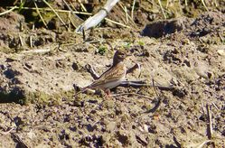 Short-toed Lark photographed at Rue des Bergers [BER] on 20/4/2013. Photo: © Tracey Henry