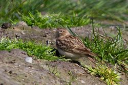 Short-toed Lark photographed at Rue des Bergers [BER] on 21/4/2013. Photo: © Adrian Gidney