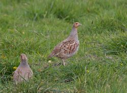 Grey Partridge photographed at Pleinmont [PLE] on 1/5/2013. Photo: © Dan Scott