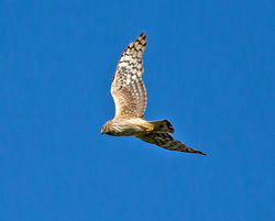 Hen Harrier photographed at pleinmont on 16/5/2013. Photo: © Mike Cunningham